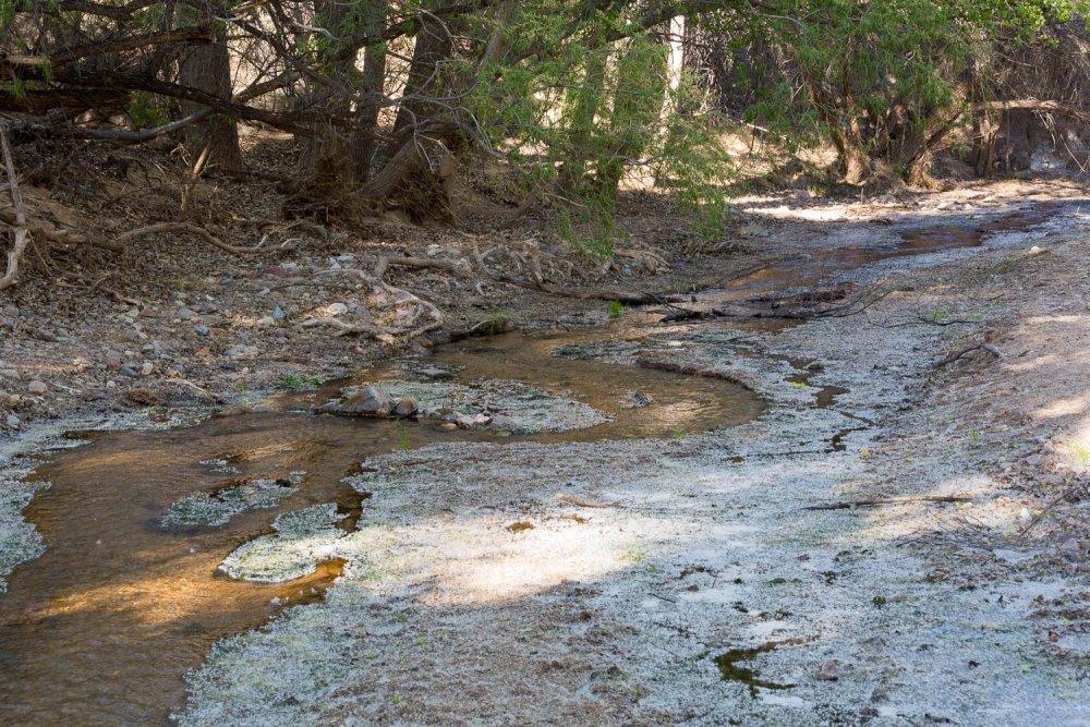 Cottonwood Trees and Creek