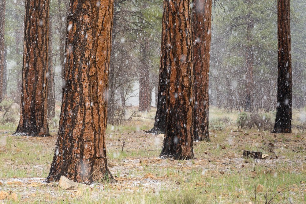Snow Storm in Pine Forest
