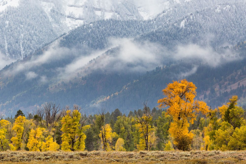 Fall Cottonwoods and New Snow