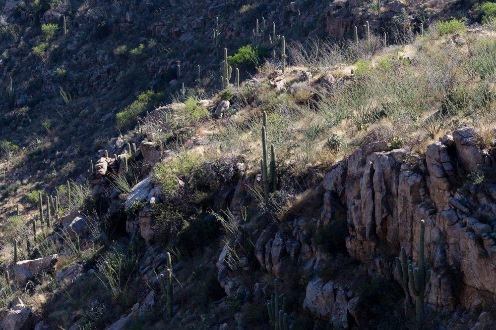 Saguaro Cactus on Mountainside