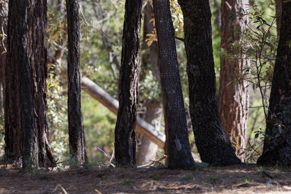Oak Tree Trunks