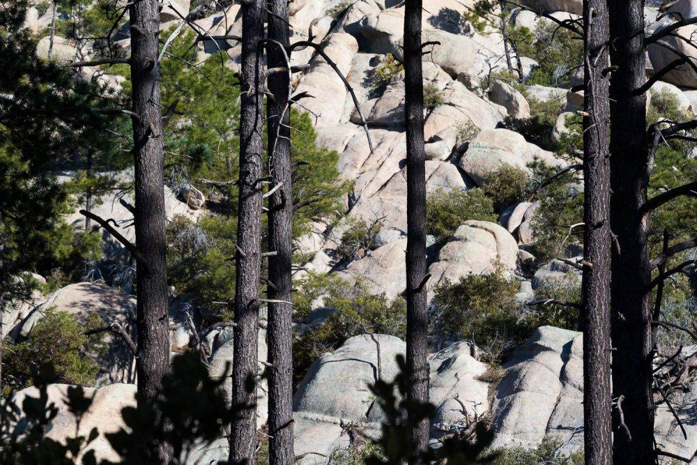 Pine Trees and Granite Boulders