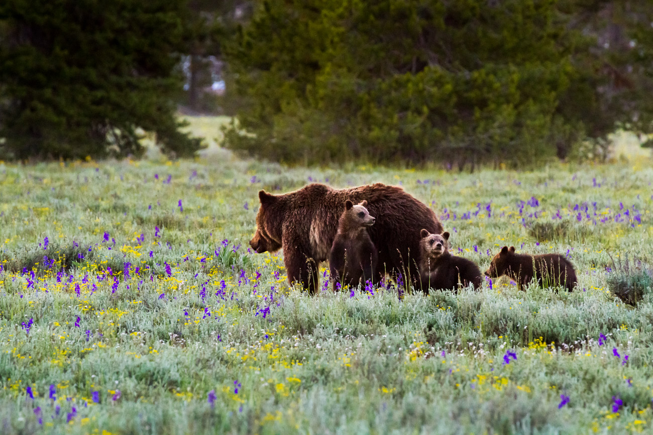 Blondie Grizzly Bear with Her Two Cubs