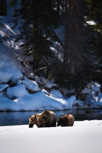 Bear 399 and Cubs Crossing Frozen Creek