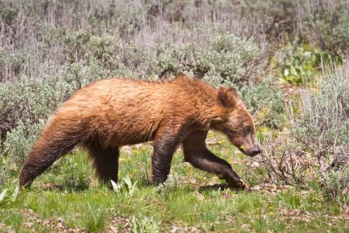 Grizzly Bear and Cubs on Snow
