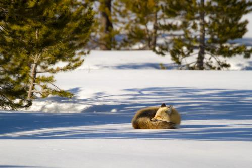 Grizzly Bear Looking Out from Log