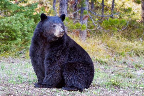 Marmot Eating Huckleberries