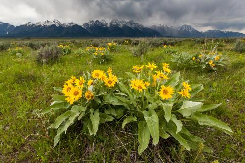 Horses Below Teton Mountains
