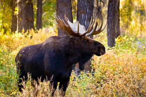 Teton Mountains Above Grassy Meadow