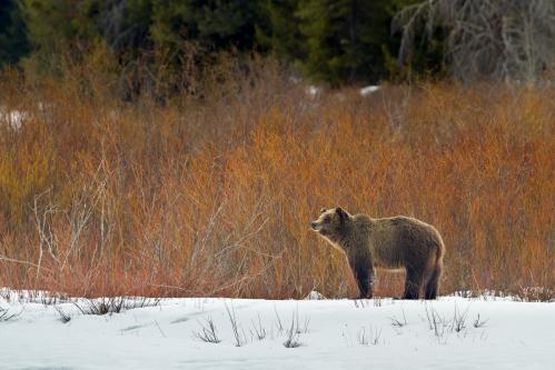 Grizzly Bear in Field of Wildflowers
