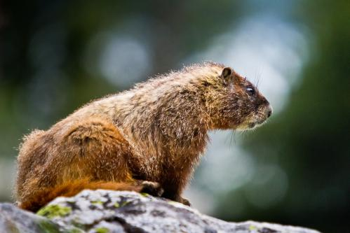 Purple-Tinted Columbine Wildflower