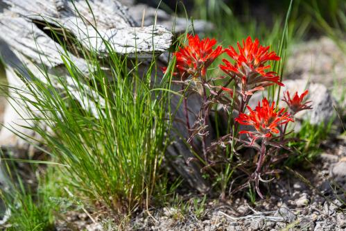 Indian Paintbrush Wildflowers and Sleeping Indian