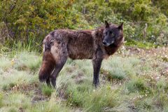 Black Wolf Stopping and Looking in Meadow