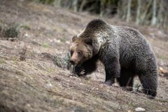 Grizzly Bear Foraging on Hillside