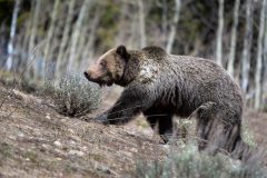 Grizzly Walking on Bare Hillside