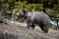 Grizzly Standing on Bare Hillside