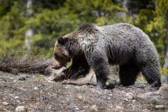Grizzly Searching Through Bare Hilltop
