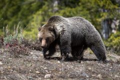 Grizzly Bear Walking on Hilltop