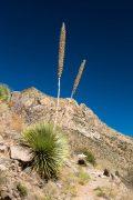 Yucca Along Desert Trail