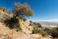 Oak Tree over Trail