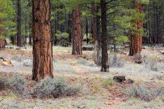 Arizona Trail in Ponderosa Pines
