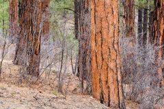 Pine Tree Trunks and Oaks