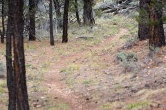Trail in Pine Forest