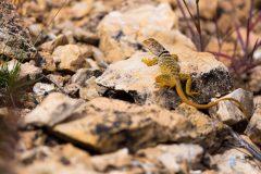 Collared Lizard on Rock