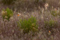 Orange Globe Mallow in Grasses