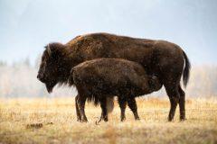 Bison Calf Nursing in Snowfall