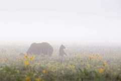 Grizzly Cub Standing in Wildflowers