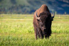 Bull Bison in Grassy Field