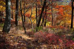 Fall Color Forest on Bear Mountain