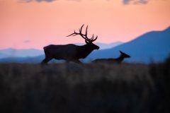 Bull Elk Chasing Cow Elk