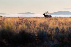 Bull Elk in Sagebrush Flats