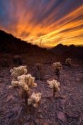 Sunset over Cholla Cactus