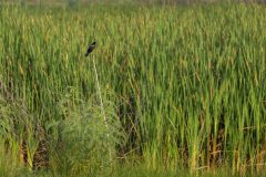 Perched Red-Winged Blackbird