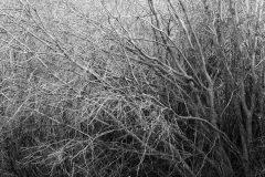 Willows Along Flat Creek