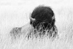 Bull Bison Lying in Grass