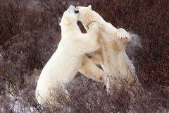 Sparring Polar Bears
