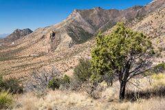 Juniper in Desert Mountains
