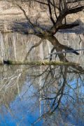 Abstract Cottonwood in Water
