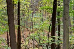 Autumn Leaves in Hardwood Forest