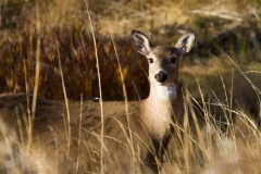 Whitetail Deer in Grass