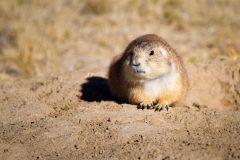Prairie Dog at Burrow