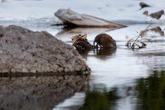 Muskrat in Maroon Lake
