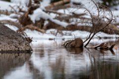 Muskrat Feeding in Lake