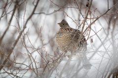 Ruffed Grouse in Hawthorne Branches