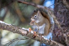Red Squirrel Eating Pine Cone