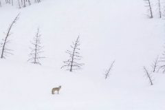 Coyote in Heavy Snowfall